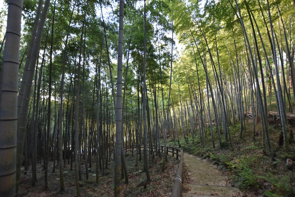 衣笠山の竹林